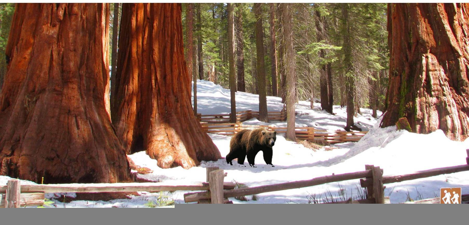 Discover-Yosemite-Giant-Sequoias