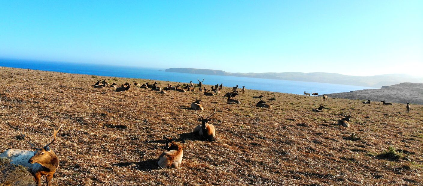 Elk-Point-Reyes-Animal-Wildlife-Viewin