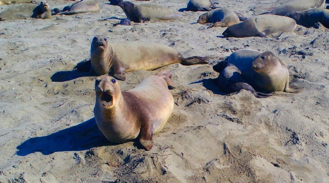 Things-To-See-Along-California-Coast-Highway-1-Elephant Seals-Attractions
