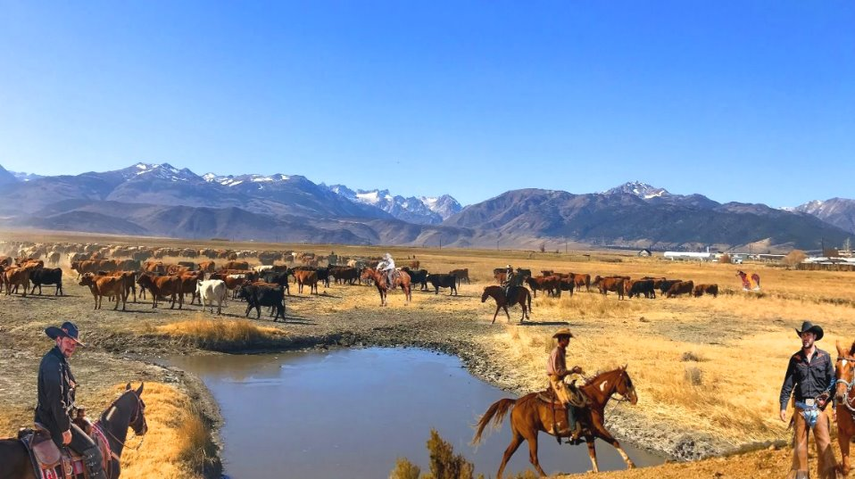 american_cowboys_drive__cattle__old_wild_western_downs_