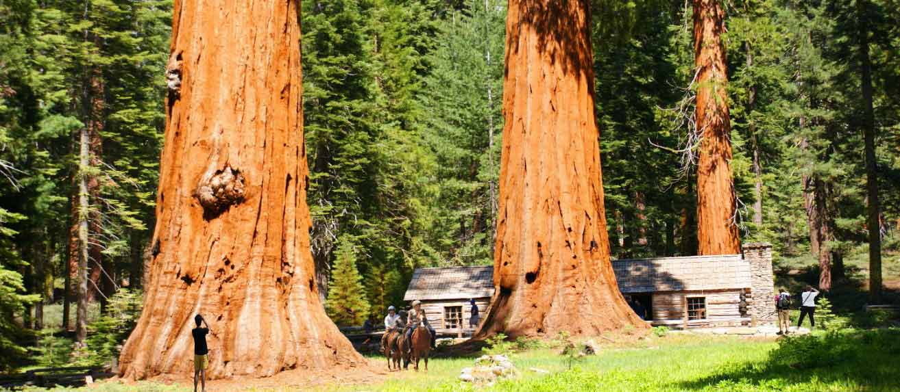 giant_sequoias__of__yosemite_mariposa_grove_sequoias22_trees