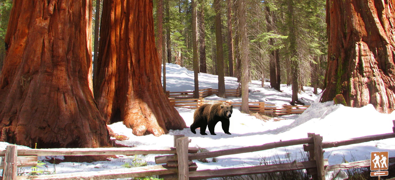 winter  trip to Yosemite Mariposa Grove of Giant Sequoias wintertime  guided tours